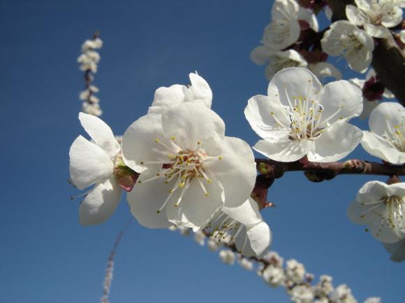 http://ephemeride.cowblog.fr/images/070Fleursdecerisier.jpg