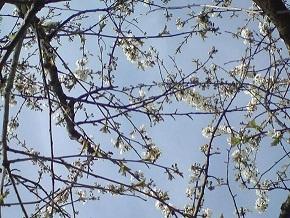 http://ephemeride.cowblog.fr/images/cerisiers.jpg